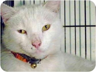 American Shorthair Cat for adoption in Brooklyn, New York - Mr. Chairman