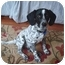 Photo 2 - Beagle/English Setter Mix Puppy for adoption in Wood Dale, Illinois - Gatsby-ADOPT ION PENDING!
