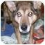 Photo 4 - German Shepherd Dog/Sheltie, Shetland Sheepdog Mix Dog for adoption in Oak Ridge, New Jersey - Quincy Girl
