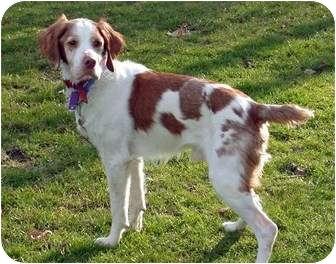 Brittany Dog for adoption in Buffalo, New York - Gunnar