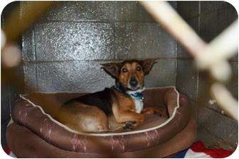 Feist Mix Dog for adoption in Henderson, North Carolina - Perry