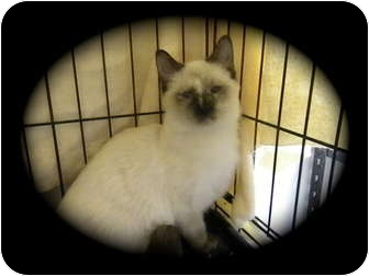 Siamese Cat for adoption in Pueblo West, Colorado - Zanna