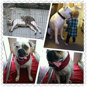 American Bulldog Dog for adoption in Sacramento, California - Bear,loyal companion!