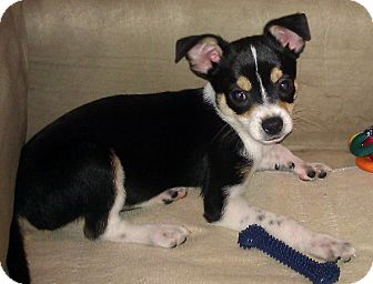 Chihuahua Puppy for adoption in Metamora, Indiana - Tucker