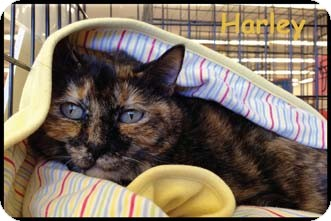 Domestic Shorthair Cat for adoption in Merrifield, Virginia - Harley