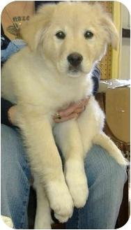 Border Collie/Golden Retriever Mix Puppy for adoption in Huntingdon, Pennsylvania - Mickey