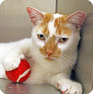 Domestic Shorthair Cat for adoption in Worcester, Massachusetts - Soupy