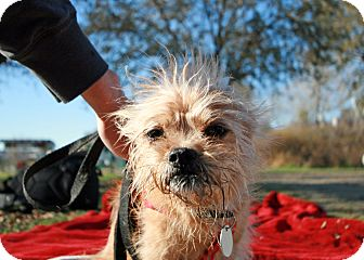 Terrier (Unknown Type, Small) Mix Dog for adoption in Woodland, California - Gizmo