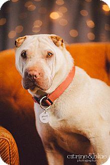 Shar Pei Dog for adoption in Portland, Oregon - Chaplin