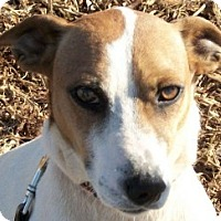 Jack Russell Terrier Mix Dog for adoption in Marion, North Carolina - Brummy
