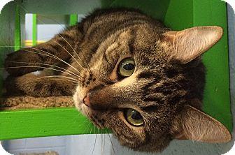 Domestic Shorthair Cat for adoption in Fruit Heights, Utah - Ellie May