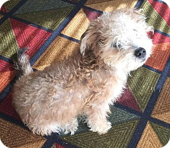 Poodle (Toy or Tea Cup)/Terrier (Unknown Type, Small) Mix Dog for adoption in Phoenix, Arizona - Otter Pop