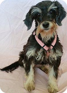 Schnauzer (Standard)/Poodle (Miniature) Mix Dog for adoption in Phoenix, Arizona - Maya