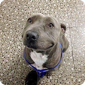 American Staffordshire Terrier/Shar Pei Mix Dog for adoption in Marina del Rey, California - Chester