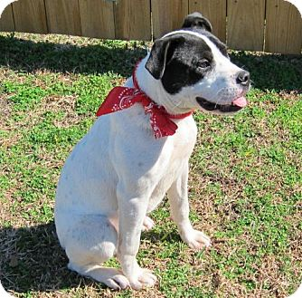 Boxer/Terrier (Unknown Type, Medium) Mix Dog for adoption in Port St. Joe, Florida - Daisy