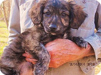Corgi/Chihuahua Mix Puppy for adoption in Oswego, New York - Cheech