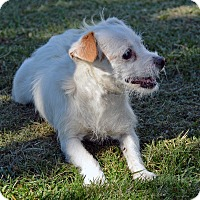 Terrier (Unknown Type, Small) Mix Dog for adoption in Mountain Center, California - Pinkie