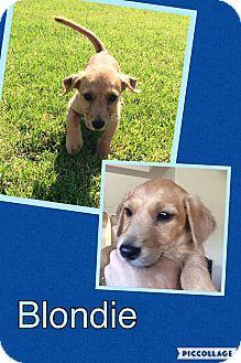 Dachshund/Terrier (Unknown Type, Small) Mix Puppy for adoption in Scottsdale, Arizona - Blondie