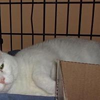 Domestic Shorthair Cat for adoption in Jamaica Plain, Massachusetts - Quest