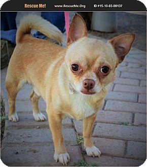 Chihuahua Dog for adoption in Phoenix, Arizona - Porky