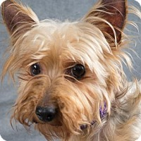 Yorkie, Yorkshire Terrier Dog for adoption in Colorado Springs, Colorado - Fergie