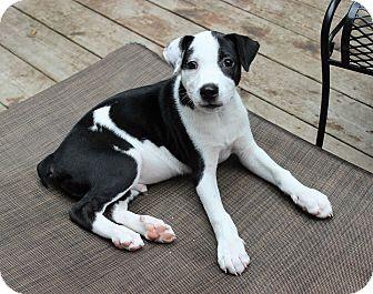 Border Collie Mix Puppy for adoption in Overland Park, Kansas - Charmeleon