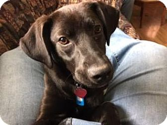 Labrador Retriever Mix Puppy for adoption in Lakeville, Minnesota - Jack