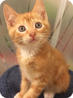 Domestic Shorthair Kitten for adoption in Navarre, Florida - Moglie