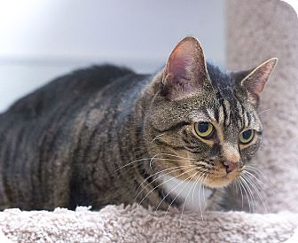 Domestic Shorthair Cat for adoption in Northbridge, Massachusetts - Jackie O