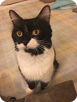 Domestic Mediumhair Cat for adoption in Los Angeles, California - McKinnon
