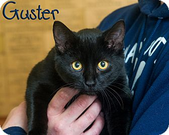 Domestic Shorthair Cat for adoption in Somerset, Pennsylvania - Guster