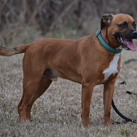 Boxer/Mountain Cur Mix Dog for adoption in Lebanon, Missouri - Cheech