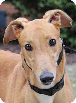 Greyhound Dog for adoption in Nashville, Tennessee - Hutch
