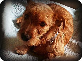 Norwich Terrier/Dachshund Mix Dog for adoption in Tijeras, New Mexico - Moose