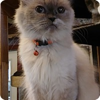 Adopt A Pet :: Twinkle Toes(Himalaya Persian) - Witter, AR