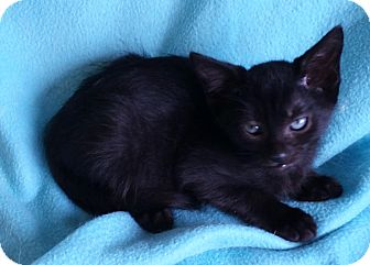 Domestic Shorthair Kitten for adoption in Spring Valley, New York - Rigitoni