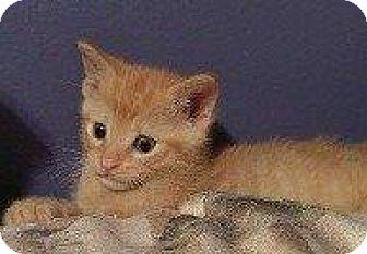 Domestic Shorthair Kitten for adoption in Hampton, Virginia - BEAN (BEAU)