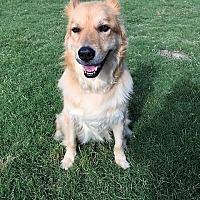 Adopt A Pet :: Goldie - McKinney, TX