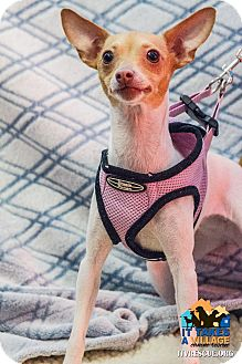 Chihuahua Mix Dog for adoption in Evansville, Indiana - Tinkerbell