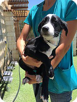 Border Collie Mix Puppy for adoption in San Antonio, Texas - Calvin