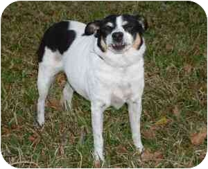 Rat Terrier Dog for adoption in Lake Charles, Louisiana - Faye