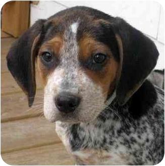 Beagle/Australian Cattle Dog Mix Puppy for adoption in Chicago, Illinois - Bingo