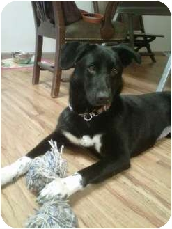 Labrador Retriever Mix Dog for adoption in Long Beach, New York - Lola