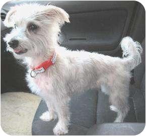 Maltese Dog for adoption in Old Bridge, New Jersey - Sammy