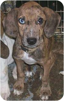 Plott Hound/Beagle Mix Puppy for adoption in Lafayette, New Jersey - Pixie