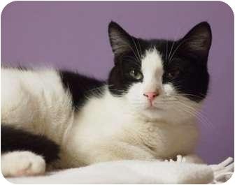 Domestic Shorthair Kitten for adoption in Ocean City, New Jersey - Margo