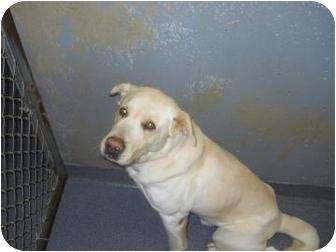 Labrador Retriever Mix Dog for adoption in Edwardsville, Illinois - Ruger
