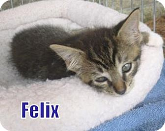 Domestic Mediumhair Kitten for adoption in Georgetown, South Carolina - Felix