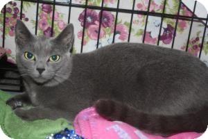 Russian Blue Kitten for adoption in Acushnet, Massachusetts - Cranberry