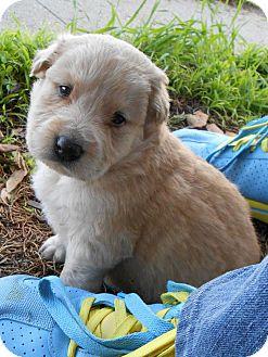 Golden Retriever/Husky Mix Puppy for adoption in Torrance, California - TITUS